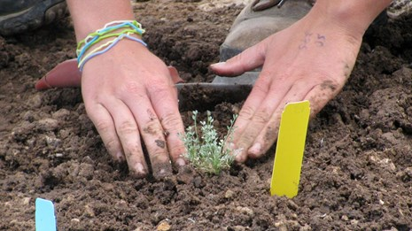 Hands gently finish planting a nursery-grown sentry milk-vetch