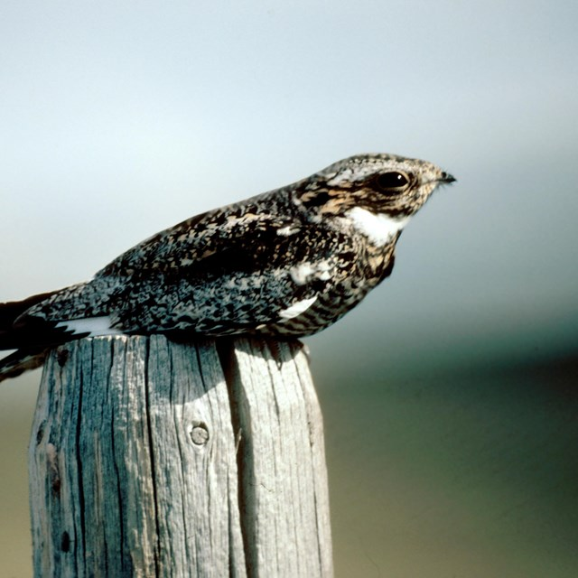 Common nighthawk resting on the top of a wood post.