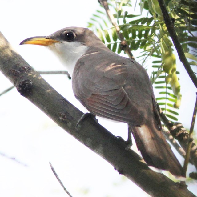 Yellow-billed cuckoo perched on a branch in the shade.