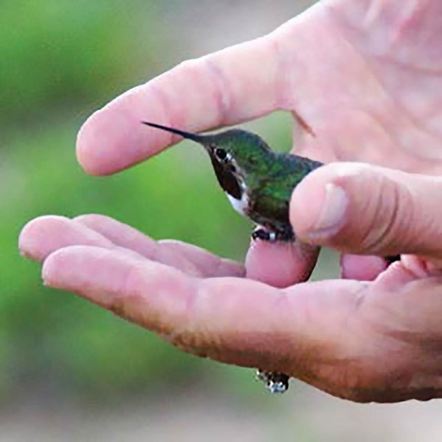 Two open hands cradling a hummingbird with a leg band about to fly off