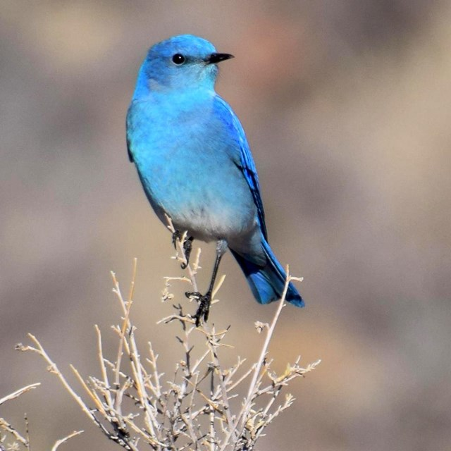 A brightly colored mountain bluebird perched atop a shrub