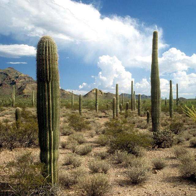 Cacti at Organ Pipe Cactus National Monument