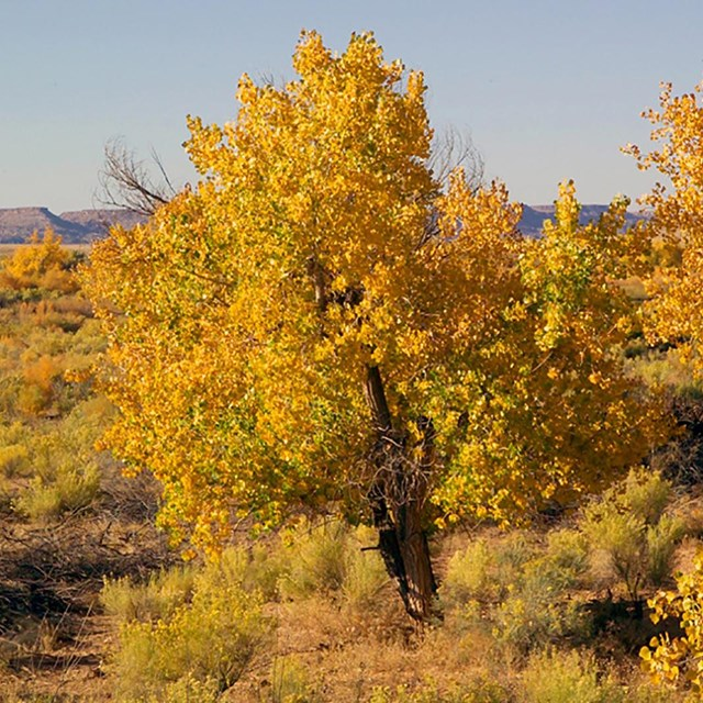 Cottonwood trees in the fall