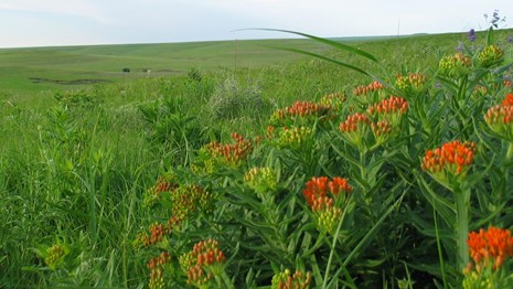 beautiful image of green prairie with orange butterfly milkweed in the foreground