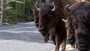 Bison walking along the road.