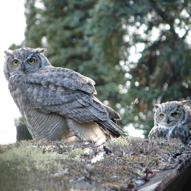 three great horned owls perched in a spruce tree