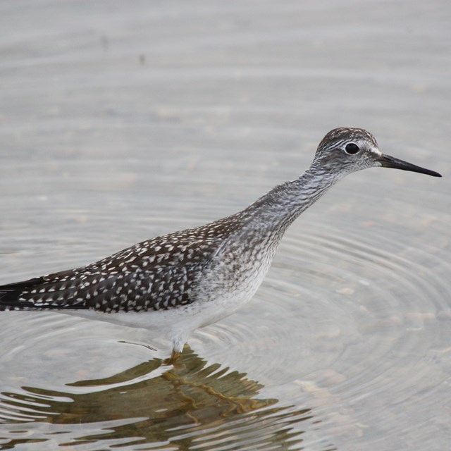 a lesser yellow legs standing in a shallow pool of water