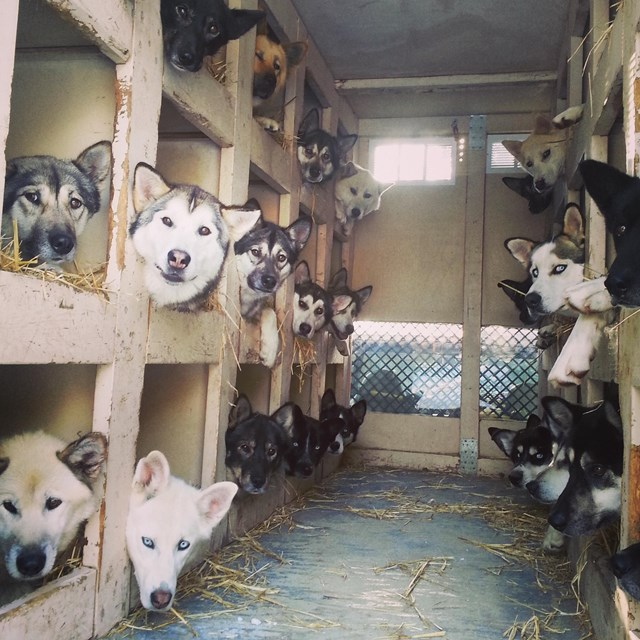 numerous dogs in the back of a truck