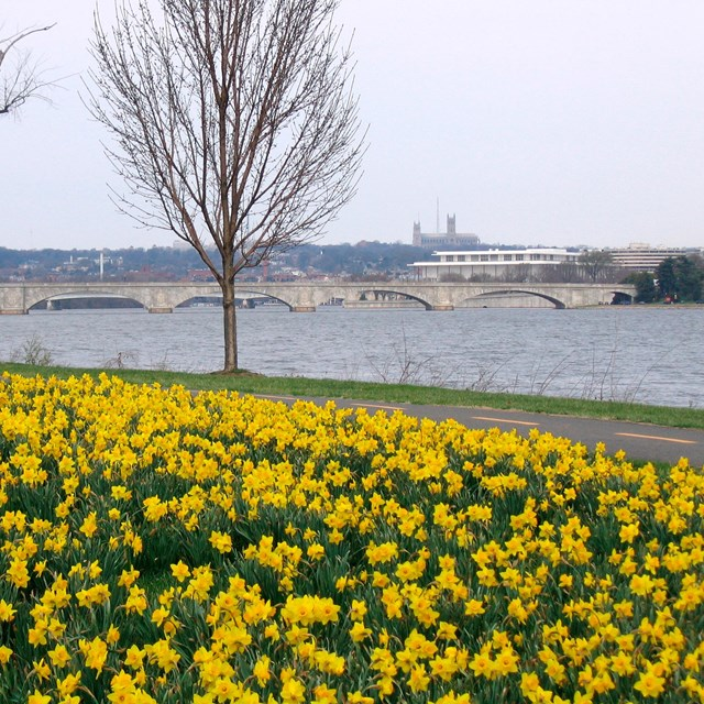Daffodils bloom off the LBJ Grove near Memorial Bridge.