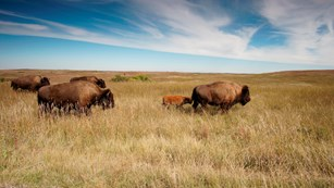 A small herd of bison cross a field of brown grass beneath blue, cloudy skies.
