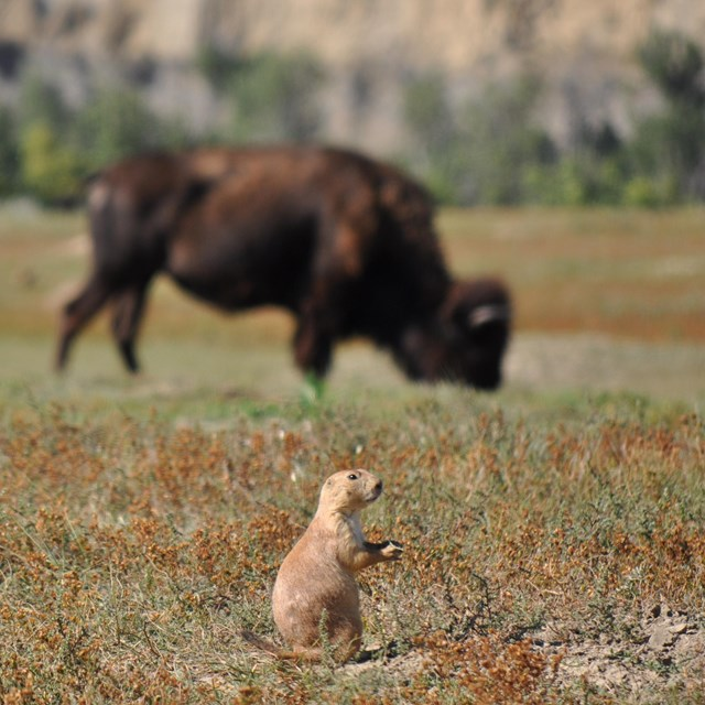 A prairie dog crouches in the foreground with a bison grazing behind