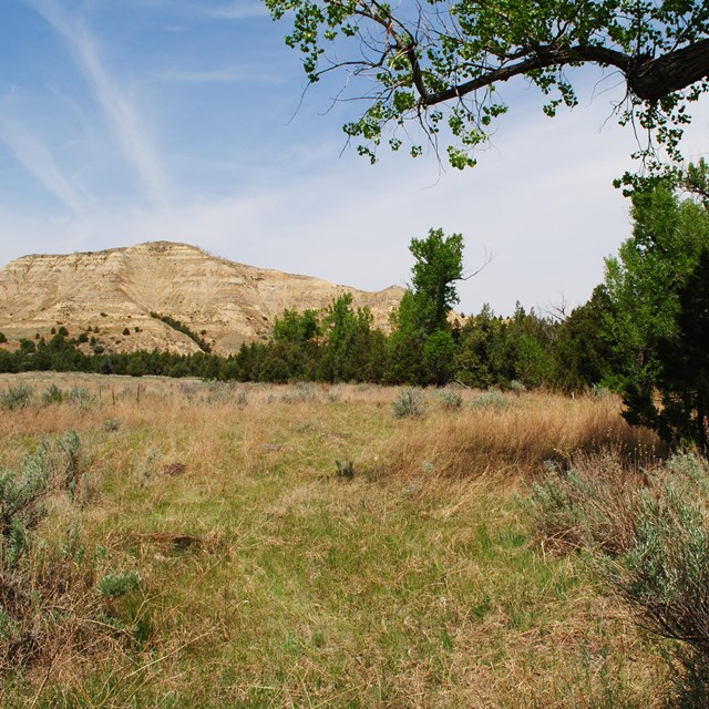 A field of grass and sagebrush framed by a cottonwood limb, front, and striped butte, background.
