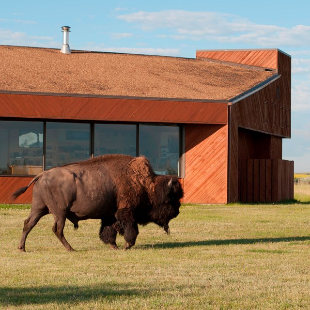 A bison walks in front of a rust-colored building with large windows.