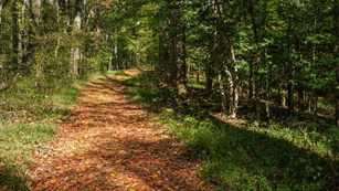 Leaf covered trail with forest on either side