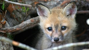 a fox peering out of it's burrow