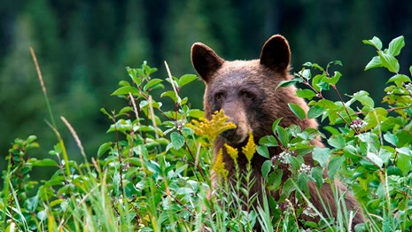 bear peeking above grass