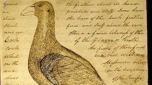 drawing and description of a sage grouse from Clark's journal
