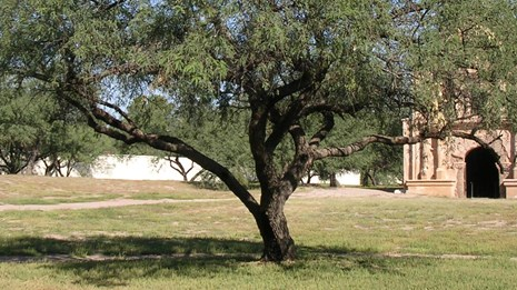 shapely mesquite tree in front of church