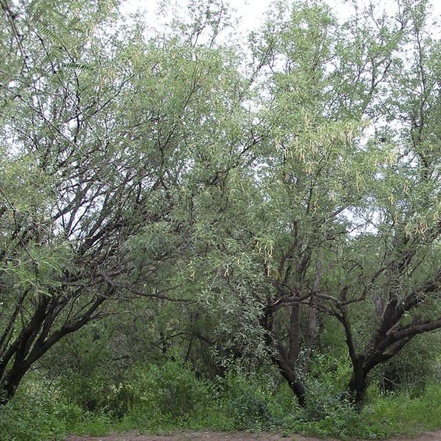 mesquite trees with seed pods, trail