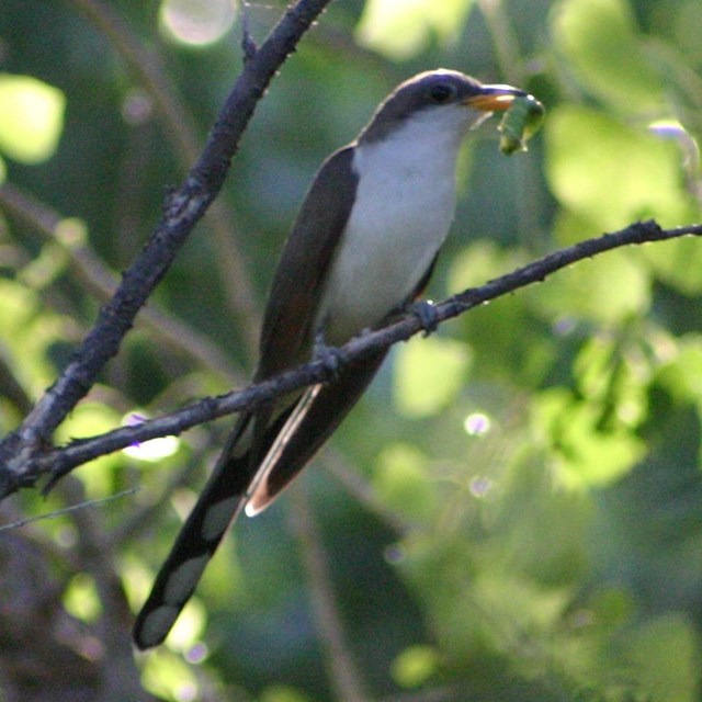 yellow-billed cuckoo with caterpillar