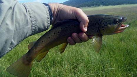 a hand holding a brown trout