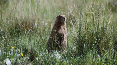 Gunnison prairie dog standing in grass