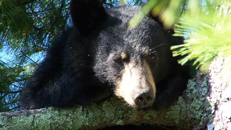 A black bear sits in a pine tree and looks downward.