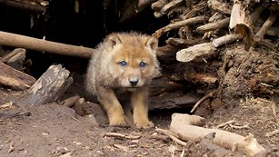 A small, brown wolf pup with blue eyes stands at the entrance of a branch-lined den and gazes out.
