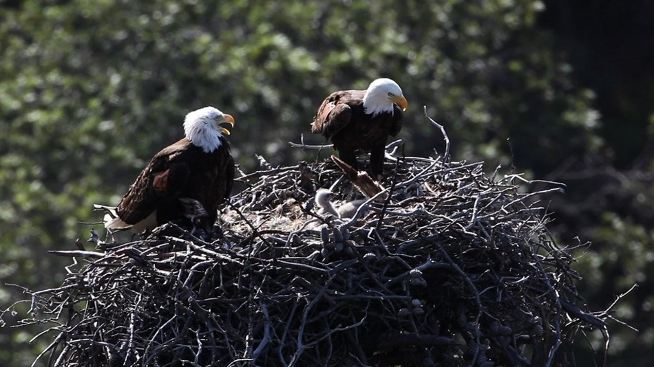 2 adult bald eagles and a baby in a nest