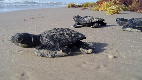 Sea turtle hatchlings facing the ocean