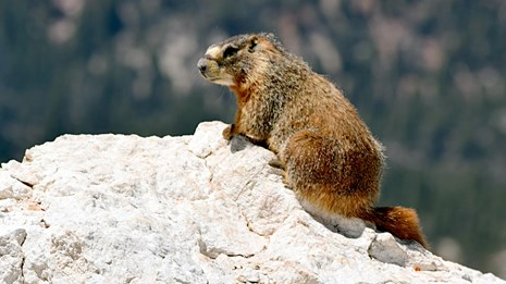 Marmot in Rocky Mountain National Park
