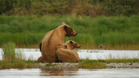 Female bear and two yearling cubs sitting on gravel bar