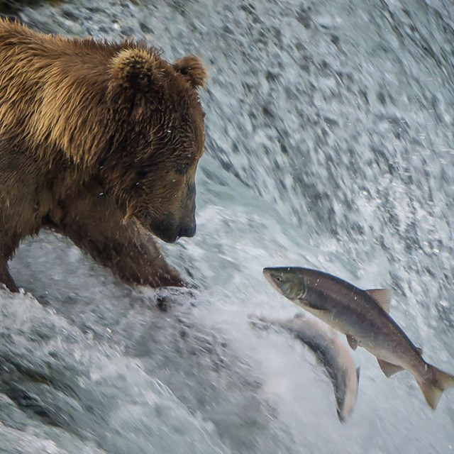 a bear reaching for fish