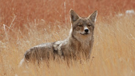 A coyote in tall grass.