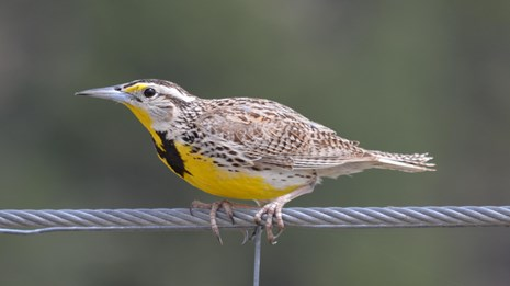 a brown and yellow bird with a black chest perched on a fence