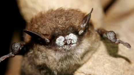 A bat with white fungus on its snout