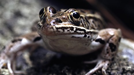 A leopard frog.