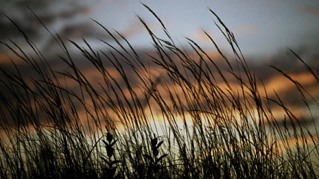 Grasses, Sedges and rushes