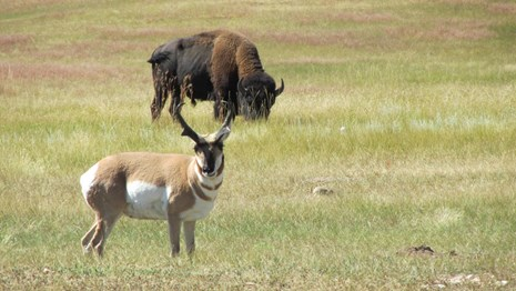 a pronghorn antelope and an adult bison in the prairie