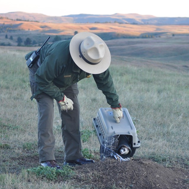 a ranger releasing a ferret from an animal carrier into a prairie dog burrow