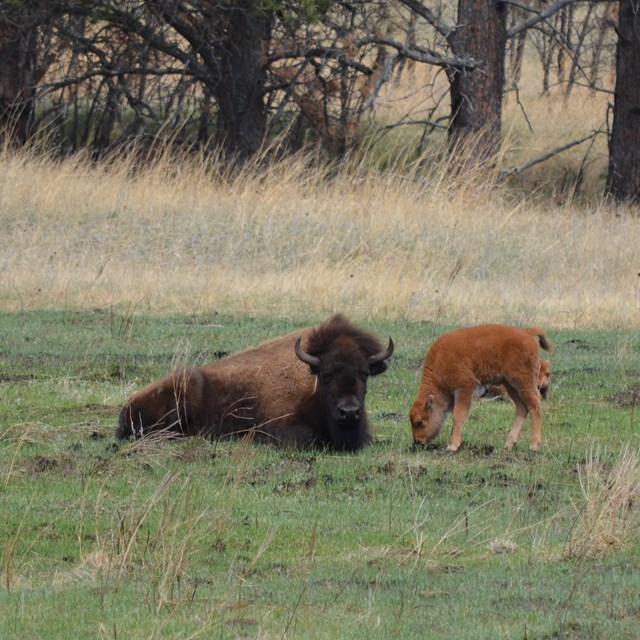two adult bison and one orange calf in an open prairie