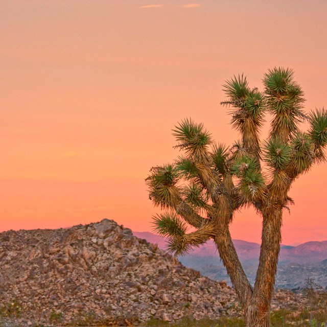 Joshua tree in foreground with sunset. NPS photo.