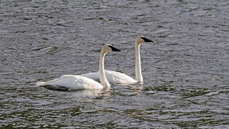 Two tundra swans floating in a lake.