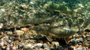 Underwater view of lake trout spawning