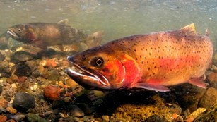 Cutthroat trout under water