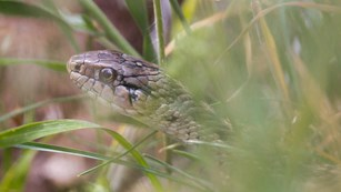 The head of a brown spotted snake among grass
