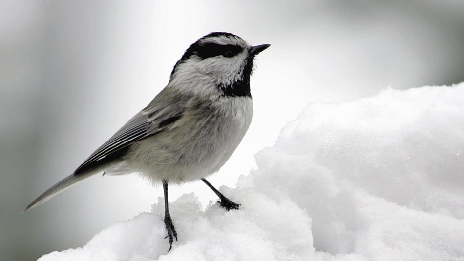 A white-breasted bird with gray and black wings and black beak on a mound of snow