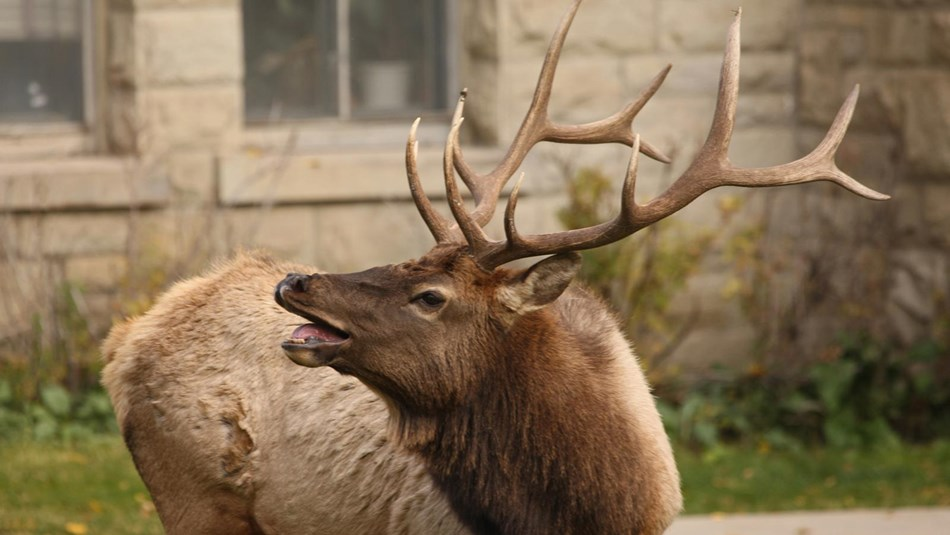 A bull elk bugles in front of a building