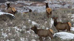 Cow elk on a sagebrush-covered hill with large boulders