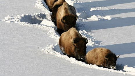 Bison walk single-file on a path through snow.
